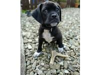Puggle female puppie