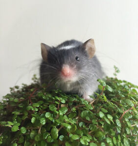 Beautiful Friendly Pet Mouse Brighton East Bayside Area Preview