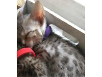 Bengal kittens 🐱