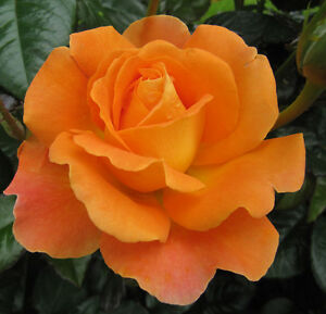LOVING MUM - 4lt Potted Hybrid Tea Garden Bush Rose - Deep Orange - Great Gift!