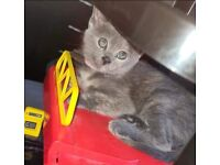 2 russian X kittens for sale