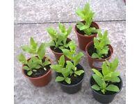 Lychnis chalcedonica plants