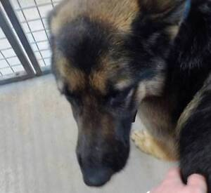 CRITICAL ZIGGY GERMAN SHEPHERD IS ON DEATHROW Austral Liverpool Area Preview