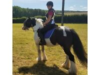 Florence, 14hh, Stunning piebald traditional gypsy cob mare
