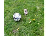 chihuahua puppies kc reg
