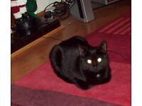 Missing black cat in billinge