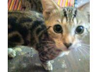 4 gorgeous bengal cross kittens!