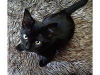 Bengal cross kitten for sale
