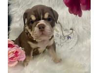 English Bulldog Puppies - Ready for their forever homes in 5 days