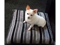 Chauaha Dog 8 yrs old need a loving home