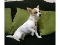 Chihuahua not spaid wire hair
