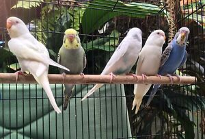 Budgies Woree Cairns City Preview