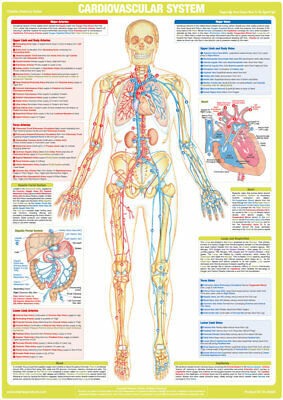 Cardiovascular System Chart Circulatory System Poster Human Anatomy
