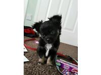 Chihuahua longhaired puppies