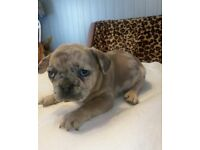 Uniqe blue fawn merle French Bulldog !