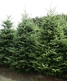 Real Christmas trees for sale