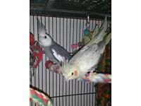 Bonded pair of cockatiels plus cage, food etc everything you need