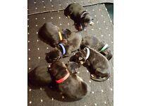 German shaped pupies 4 sale