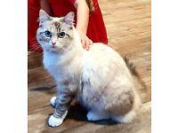 Beautiful Ragdoll (blue point/lilac point) cat