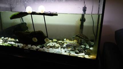 2 eastern long neck turtles with accesories and stand