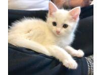Beautiful Cross Angora kittens for new loving homes