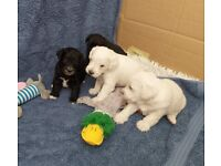 4 Gorgeous schnoodle puppies