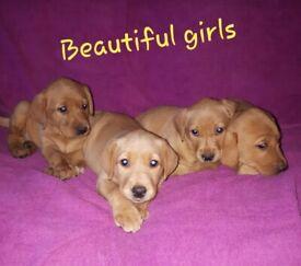 Red fox Labradors puppies