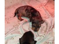 KC Reg Miniature Wire Haired Dachshund Pups