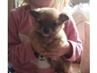 Last long coat chihuahua puppy