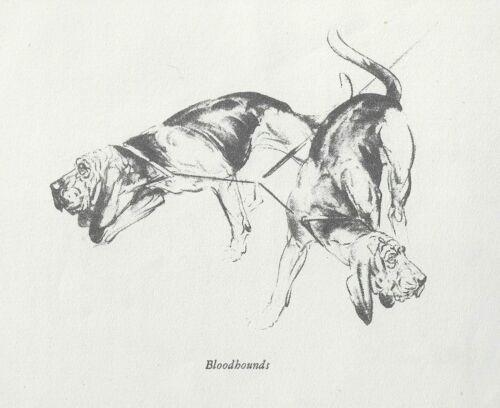 Bloodhound - Vintage Dog Print - 1940 Diana Thorne