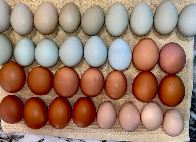 24 Fertile Mix Chicken Hatching Eggs Maran Ameraucans Orpingtons Speckled Sussex