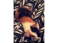 3 baby Guinea pig
