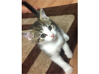 Cute playful kitten for sale