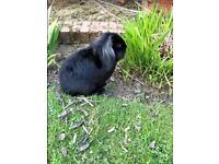 Cute Male Rabbit 2/3 years old