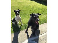 2 x Patterdale terriers rehome