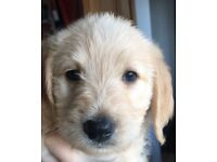 labradoodle puppies for sale.