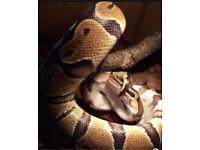 Royal python / Ball Python