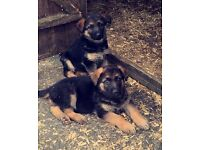 German Shepherd Puppies (CO ARMAGH, N.I)