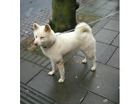 Japanese Akita - Female - full white.