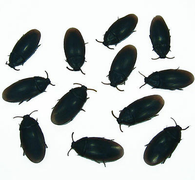 Realistic Silicone Cock Roaches Will Scare Anyone!  Best Deal On Joke &