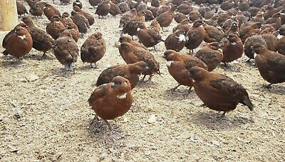Pre Sale 100 Tennessee Red Bobwhite Hatching Eggs