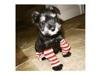 Mini schnauzer pups for sale