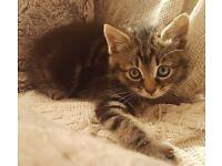 Only 1 Beautiful Bengal cross kitten left
