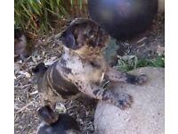 Merle pug puppies