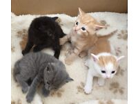 Russian Blue x Calico Kittens