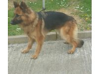 lara 9 month old german shepherd female puppy