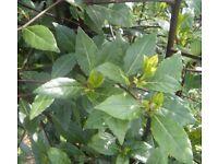 25 Freshly Picked Bay Leaves - Organic - Will Post - 15 g