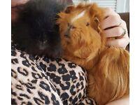 2 Male Guinea Pigs For Sale.