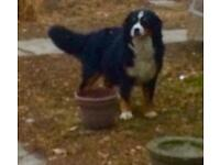 Bernese mountin dog