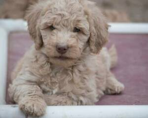 Poodle Puppies - LAST 2 GIRLS AVAILABLE NOW